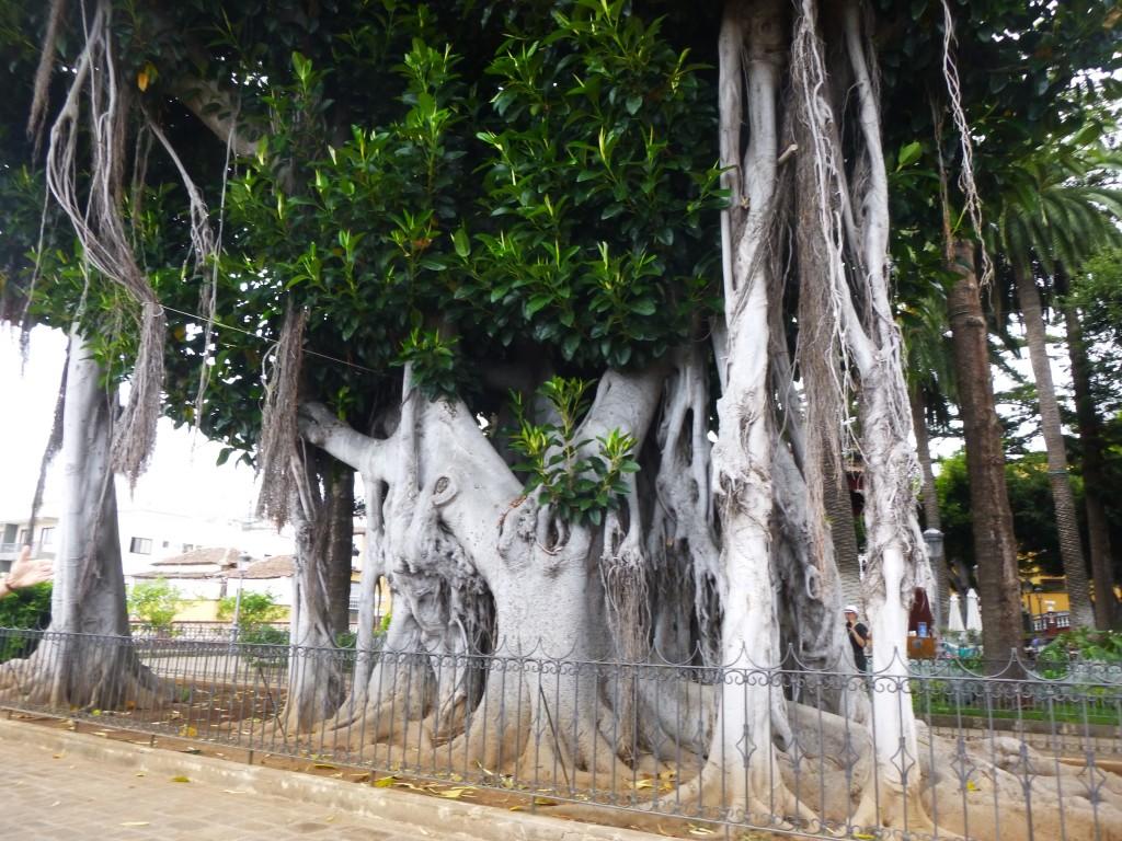 Ein alter Baum in Teneriffa.