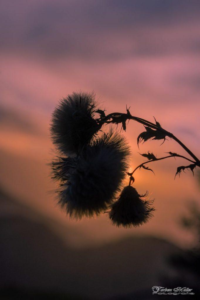Blüte im Sonnenuntergang
